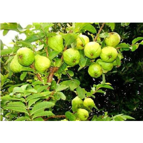 Guava Tree - View Specifications & Details of Guava Plants