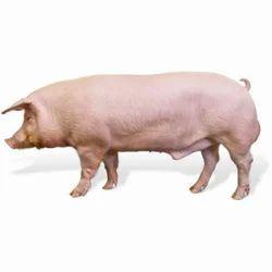 Male Adult Pig