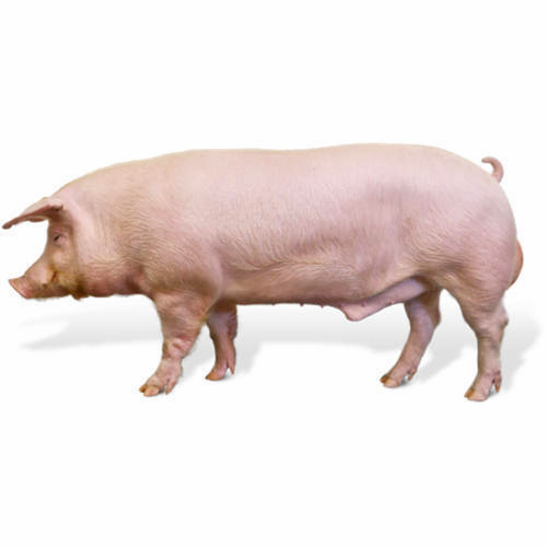 Male Or Female Pig