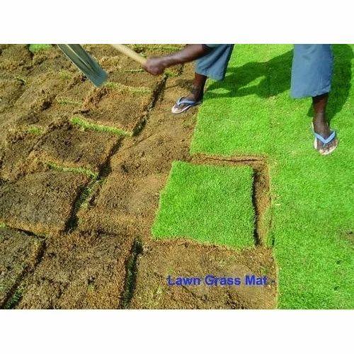 Organic Korean Lawn Gr Mat