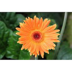 Orange Gerbera Jamesonii Flower