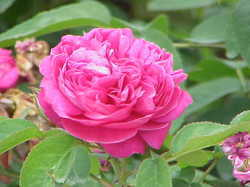 Rosa Damascena Fragrance