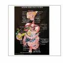 Human Digestive System Chart
