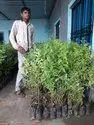 Sandalwood Plant
