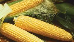 Indian Yellow Corn, Organic