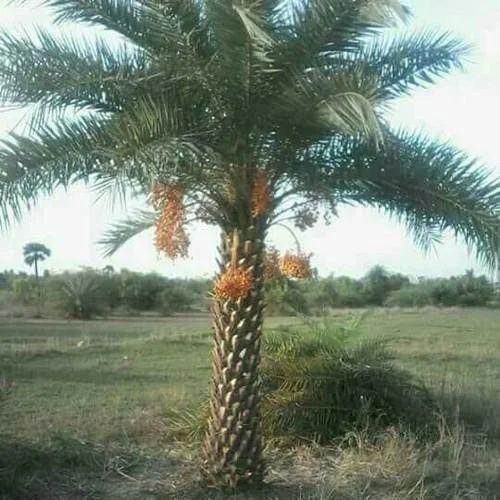 Coco Palm Tree