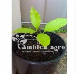 Rambutan Fruits Plant