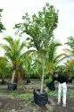 Readymade Plant