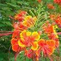 Caesalpinia Pulcherrima Tiger Flower