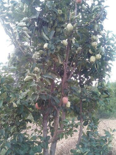 HRMN 99 Apple Plant Hot Climate Variety