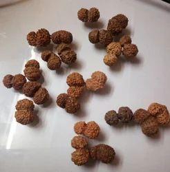 Amogh Jewels Natural Gauri Shankar Rudraksha