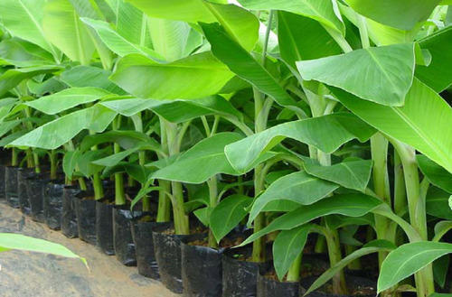 Well Watered Banana Tissue Culture