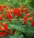 Caesalpinia Pulcherrima Plants