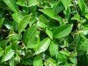 Green Tea (Cammelia Sinensis)
