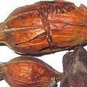 Pinus Succineferas