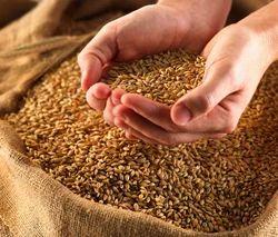 Golden Whole Wheat Grains/ Gehu