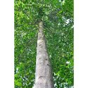 Sterculia Alata Tree