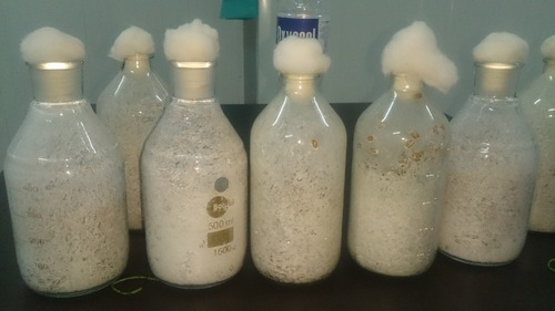 Oyster Mushroom Spawn (seeds)