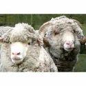Sheep Farm Feed