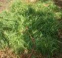 Pale Yellow Lemongrass Oil