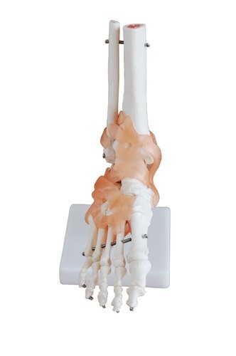 Foot Joint with Ligaments Life Size Model