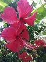 Hibiscus (Hibiscus Rosa Sinensis)
