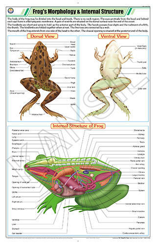 Full Color Art Paper Laminated Frog\'s Morphology & Internal ...
