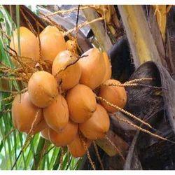 Yellow Tender Coconut