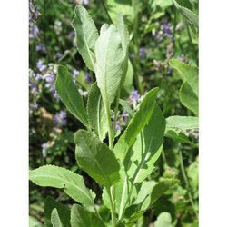 Costmary Essential Oil