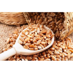 Sehore Wheat Grains