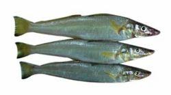 Lady Fish Kana