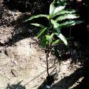 Totapuri Mango Plant