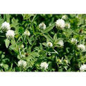 Horticultural Impex Trifolium Alexandrinum, Pack Size: 1 Kg