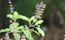 Basil (Tulsi) Herbal Extract (Oil Soluble)