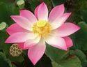 Attar Indian Lotus