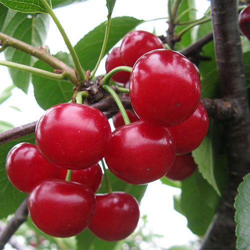 natural red cherry fruit च र kalyani food products