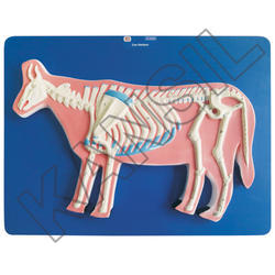 Cow Skeleton For Veterinary Model