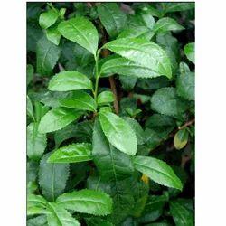 Camellia Sinensis Extract