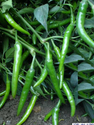 Chilli F1 Tejal Seeds For Agriculture, Pack Size: 10 G