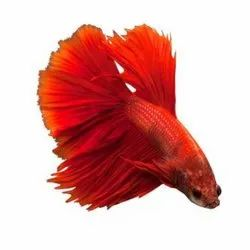 Halfmoon Betta Fish, Packaging Type: Poly Bag