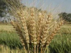 Umesh Wheat