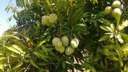 Banganapalli Mango Plant