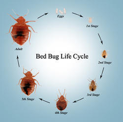 Bed Bug Control Services In Mumbai Vishal Nagar By Pest Care