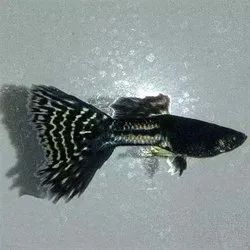 Metallic Black Lace Guppy