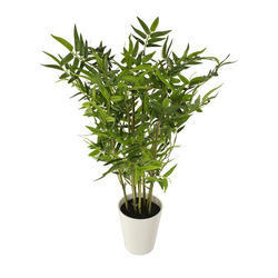 Green Bissets Bamboo Tree