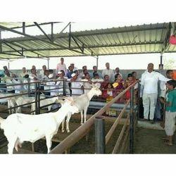 Goat Farming Service in Pune, बकरी की खेती की सेवा