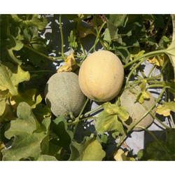 Hybrid Melons Seeds