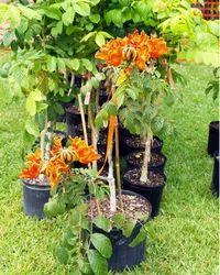 Pichkari Plant