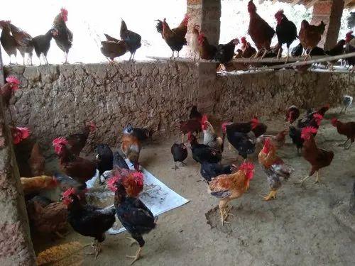 Gavthi Chicken(Murgi)/Hen & Gavthi Chicken(Murgi) from Mumbai