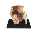 Pregnancy Pelvis Anatomical Model
